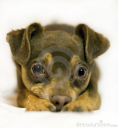 Jouet-Chien terrier Frodo.