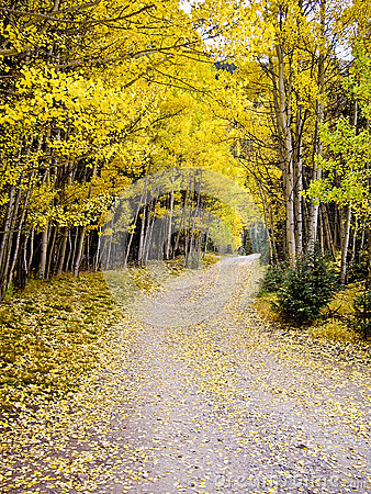 Journey through the aspens in Fall Colorado USA