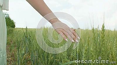 Jovem mulher que anda em um campo das orelhas do trigo e da cevada, uma menina que toca nas orelhas com sua mão e que aprecia, o  filme