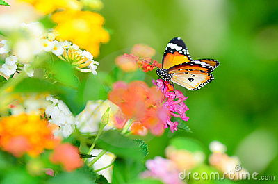Joy of garden (butterfly)