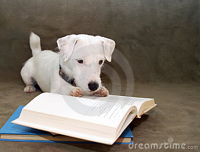 JRT Puppy Reading a book