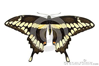 Jätte- swallowtail