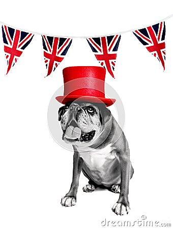 Jubilee boxer dog