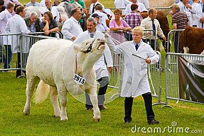 Judging Charolais bulls at the Royal Welsh Show Editorial Stock Photo