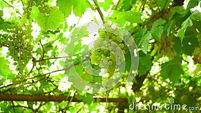 Jugosos racimos de uva madura en el momento de la cosecha para el vino vid en un viñedo metrajes