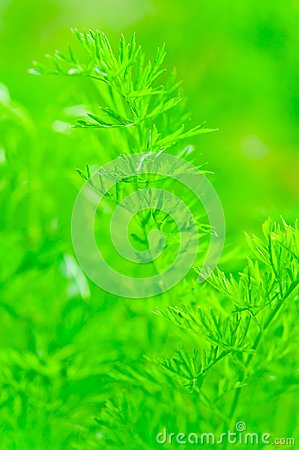 Juicy green leaf dill close-up