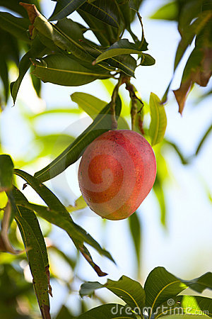 Free Juicy Mango In A Tree Royalty Free Stock Photography - 3942997