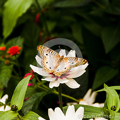 Free Julia Butterfly Stock Photos - 32975393