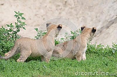 Jumeaux de lion
