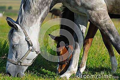 Jument et poulain Tacheter-gris de compartiment