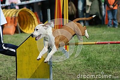 Jump and Dog agility