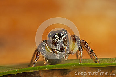 Jumper spider
