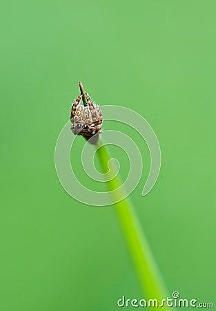 Jumper spider on green leaf