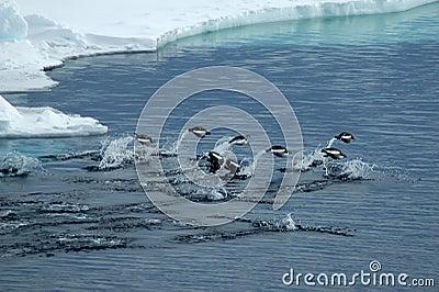 Jumping Adelie penguins