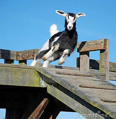 Jumping Baby Goat Kid