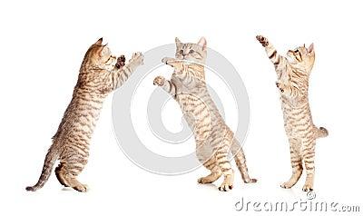 Jumping british kitten set