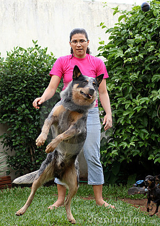 Jumping Cattle Dog With Woman