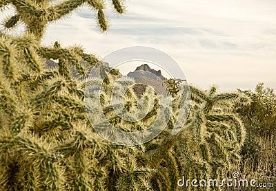 Jumping Cholla (Cylindropuntia fulgida) Cactus