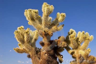 Jumping Cholla, Joshua Tree NP