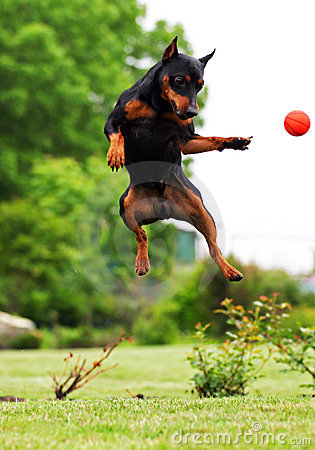 Free Jumping Dog Royalty Free Stock Photos - 10652848