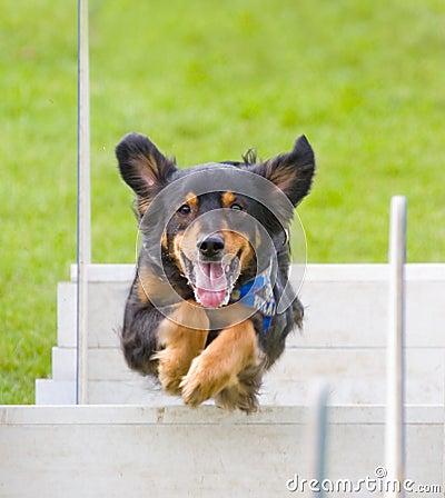 Jumping dog 2