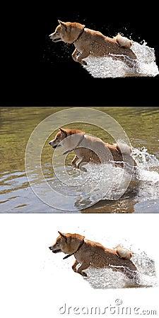 Jumping dog isolated white