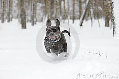 Jumping dog Neapolitan Mastiff