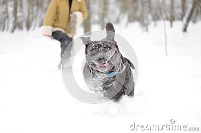 Jumping dog Neapolitan Mastiff