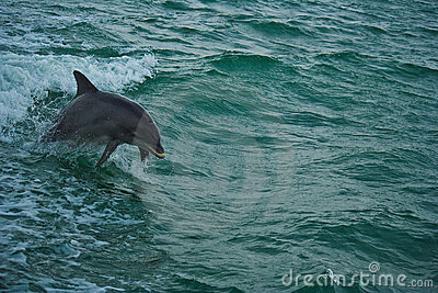 Dolphin playing in sea