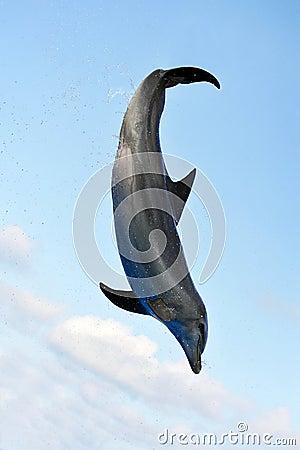Free Jumping Dolphin Royalty Free Stock Photo - 22218735