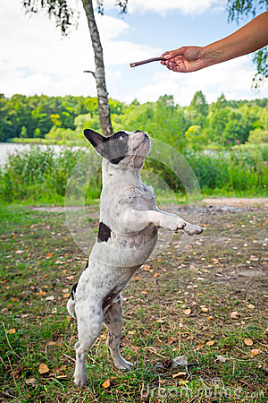 Jumping french bulldog