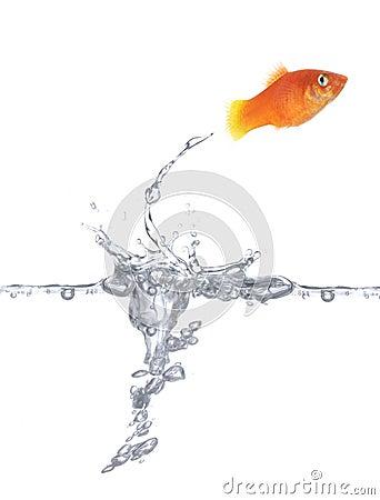 Free Jumping Goldfish Royalty Free Stock Photo - 2035435