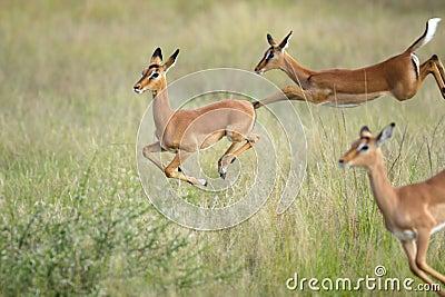 Jumping impalas