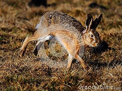 Jumping jack rabbit
