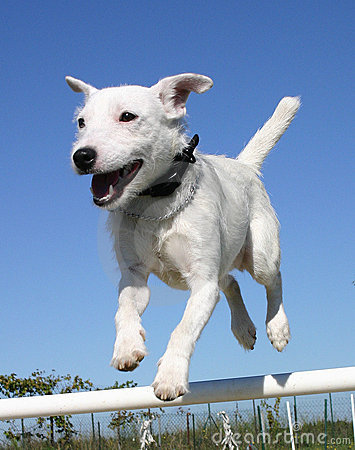 Free Jumping Jack Russel Terrier Royalty Free Stock Photos - 1827428