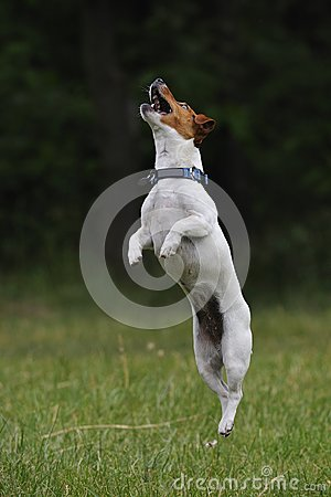 Free Jumping Jack Russell Terrier Dog Stock Photos - 25112073