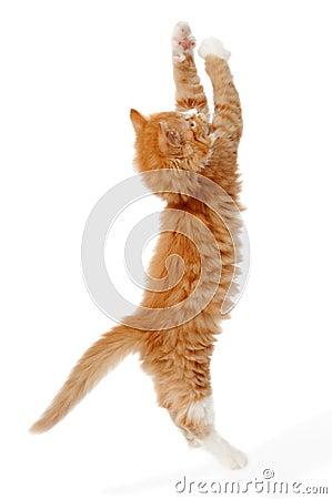 Free Jumping Kitten Royalty Free Stock Photos - 14025818