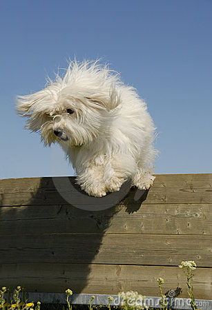 Jumping little white dog
