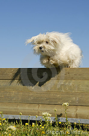 Jumping maltese dog