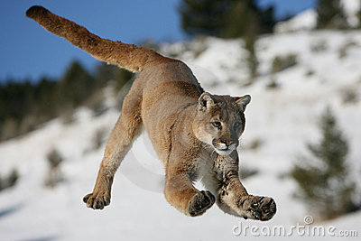 Jumping Mountain Lion
