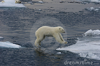Jumping Polar bear cub 2