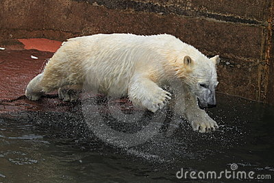 Jumping polar bear juvenile