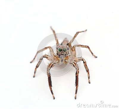 Free Jumping Spider Royalty Free Stock Photos - 45807568