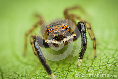 Jumping spider (Euophrys frontalis)