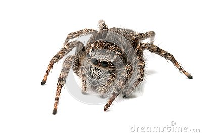 Jumping spider isolated