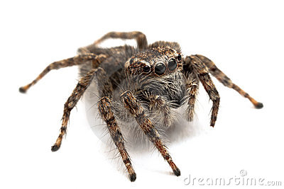 Jumping spider isolated over white