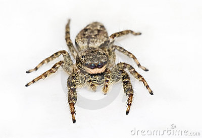 Jumping spider isolated on white