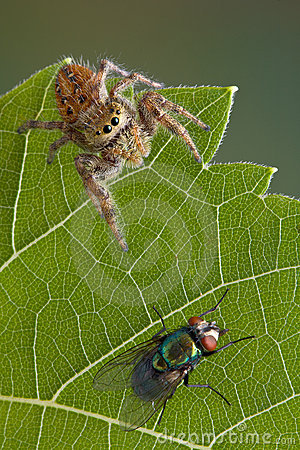 Jumping spider on leaf with fly