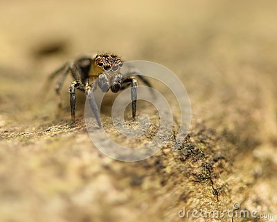 Jumping Spider on log