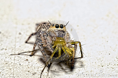 Jumping spider with Lynx Spider in the mouth